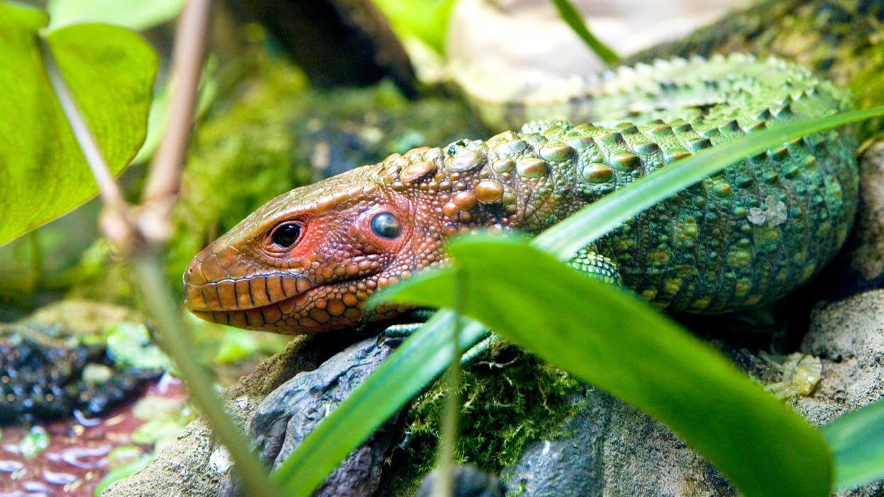 A Caiman lizard, with its pink-orange face and green-blue body lies near the edge of the water. Its skin is bumpy and very textured. Green vegetation partly obscures its body in the foreground and its tail trails off in the background vegetation.