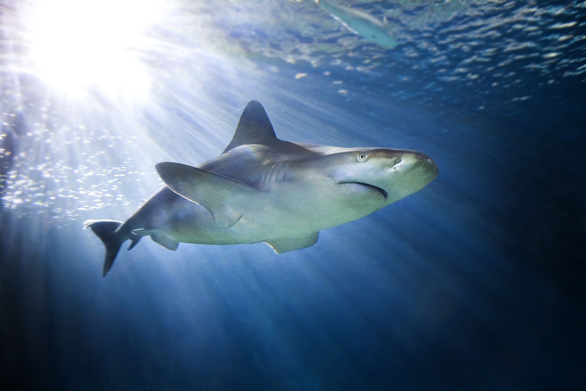 Sandbar shark swims through dark blue water with light filtering through. A fish swims in the background.